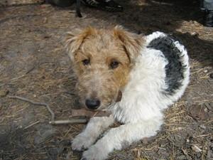 Потерялась собака - девочка - фокстерьер Долли